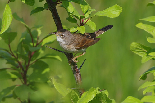 cambridgeshire devilsdyke nature wild wildlife bird whitethroat sylviacommunis