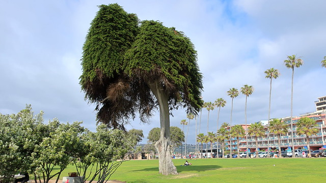 180518 162 La Jolla CA - Ellen Browning Scripps Park, because he could see it from his home, legend says this oddly-shaped Cupressus macrocarpa Monterey Cypress inspired Ted Geisel (Dr Seuss) to create his truffula trees