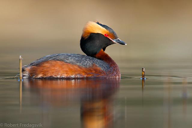 Horndykker - Slavonian grebe - Explored