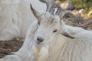 Handsome goat | by Gabriel Paladino Photography
