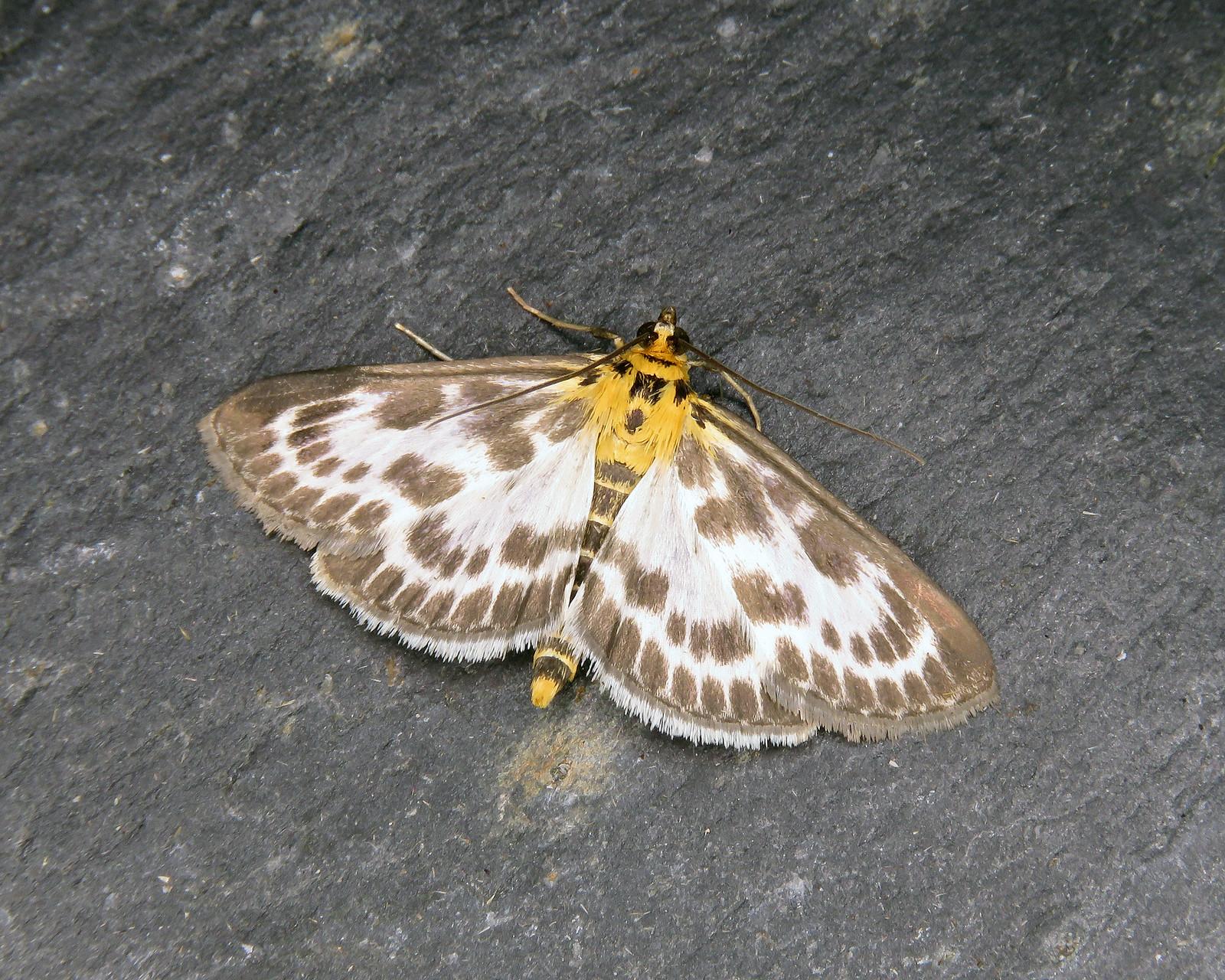 63.025 Small Magpie - Anania hortulata