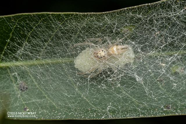 Jumping spider (Salticidae) - DSC_2545