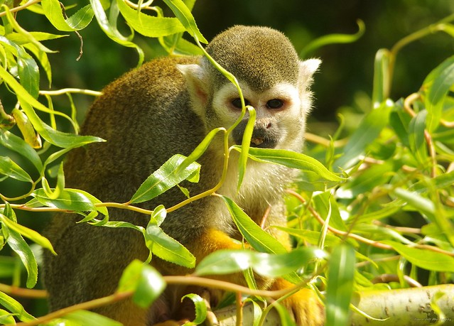 Squirrel Monkey (9)