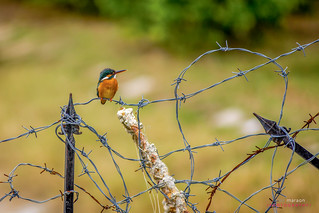 Ringed Kingfisher on the barred wire | by listermaraon