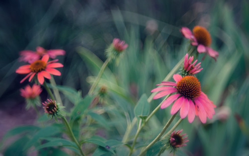 Coneflowers - color version, vintage look | by Anne Worner