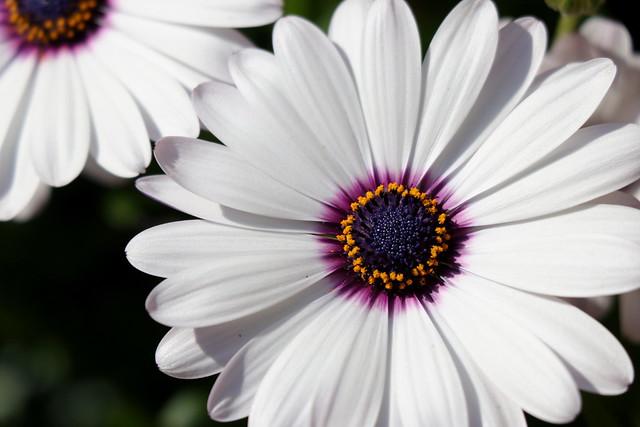Blancas y violeta