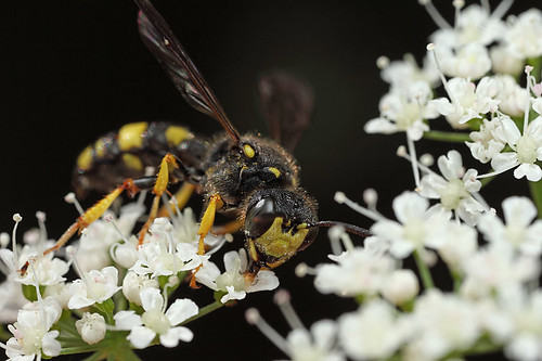 A new wasp for me #1   by Lord V