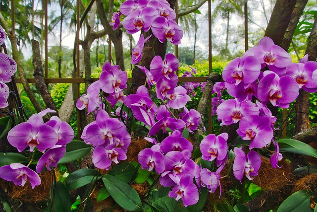 Orchids in the National Orchid Garden of Singapore