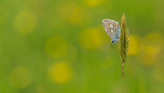 Common Blue | by Peter Quinn1