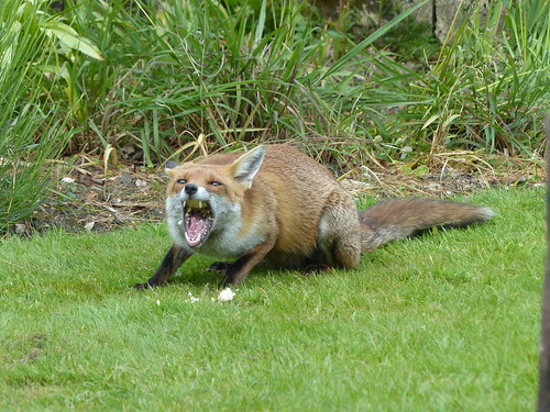 Scoffing the lot! (Vixen scavenging scraps) | by ramtopsrac