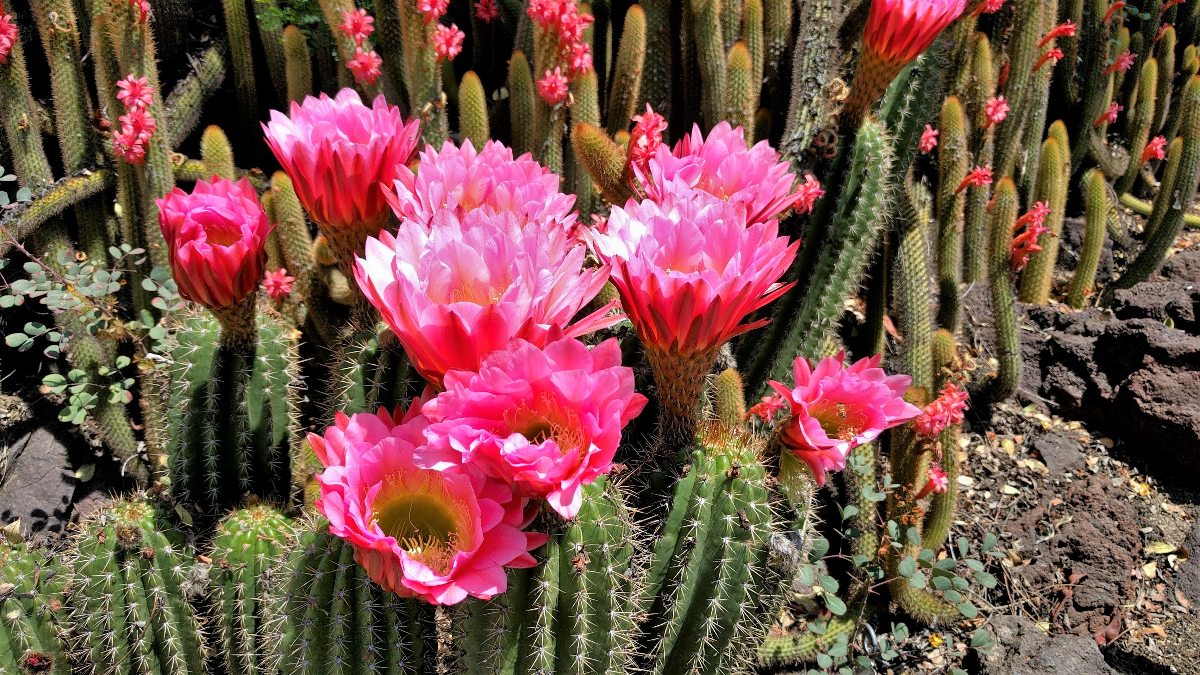 180516 140935 Huntington Botanical Gdn - Desert Gdn, Echinopsis mamillosa var kermesina, Cleistocactus icosagonus syn Borzicactus icosagonus
