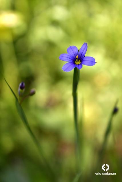 Bermudienne montagnarde / Strict Blue-eyed Grass - Sisyrinchium montanum var. montanum