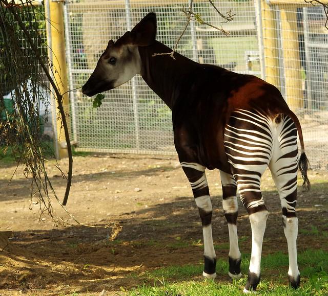 Okapi (2)
