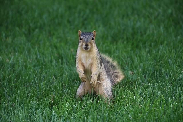 362/365/3649 (June 8, 2018) - Squirrels in Ann Arbor at the University of Michigan (June 8th, 2018)