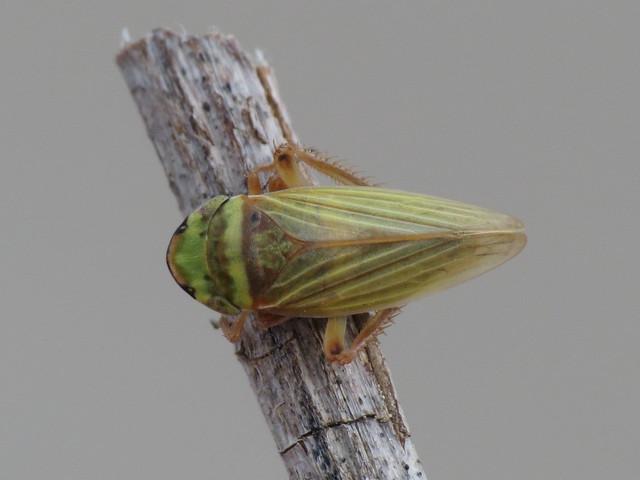 Aphrodes bicinctus / makarovi (Cicadellidae)