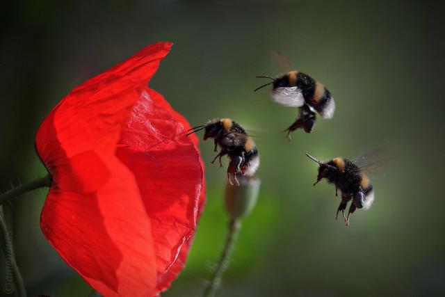 Bumblebees & Poppies