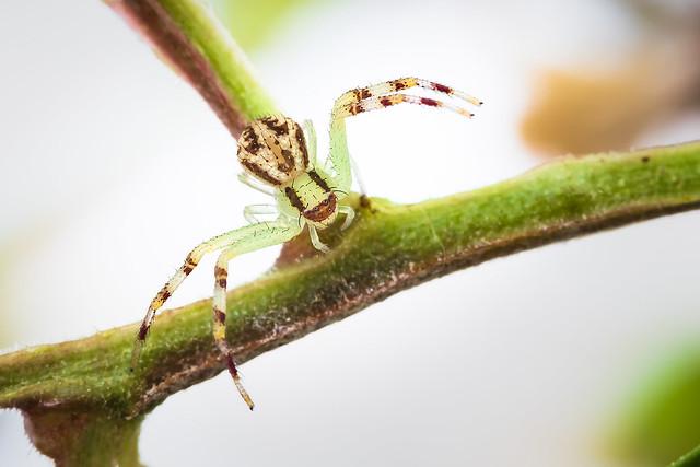 Crab Spider (Thomisidae Mecaphesa)