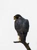 Peregrine Falcon (Falco peregrinus) by David Cook Wildlife Photography