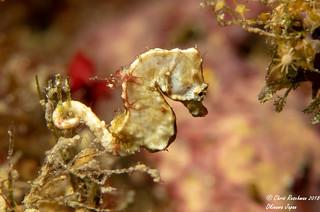 White Pygmy Seahorse