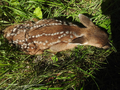 may 31 2018 10:13 - new Fawn | by boonibarb