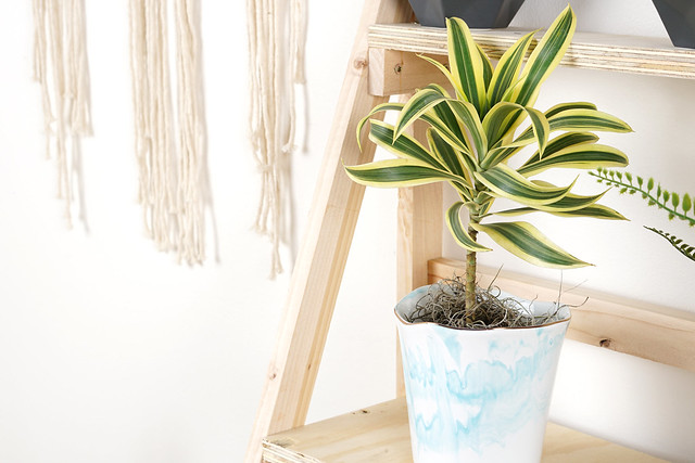 Dracaena on Plant Stand