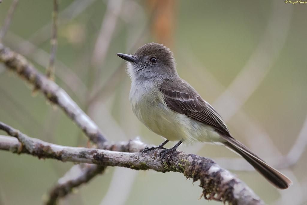 Short-Crested Flycatcher