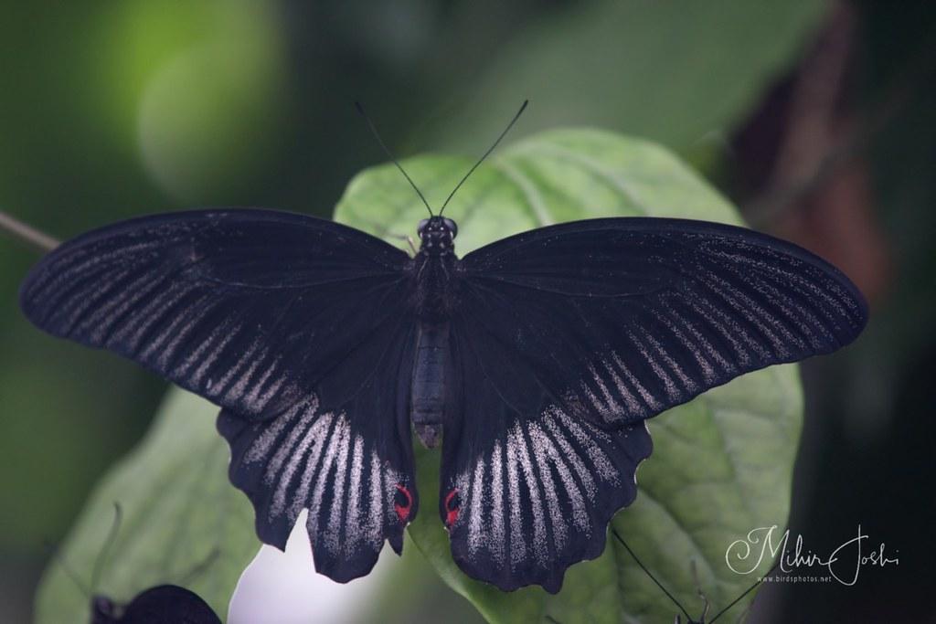 Great Mormon [Papilio memnon]