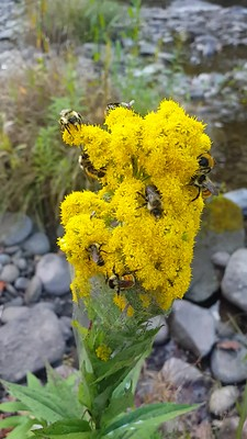 a video of a variety of bees and wasps onpollinators on goldenrod