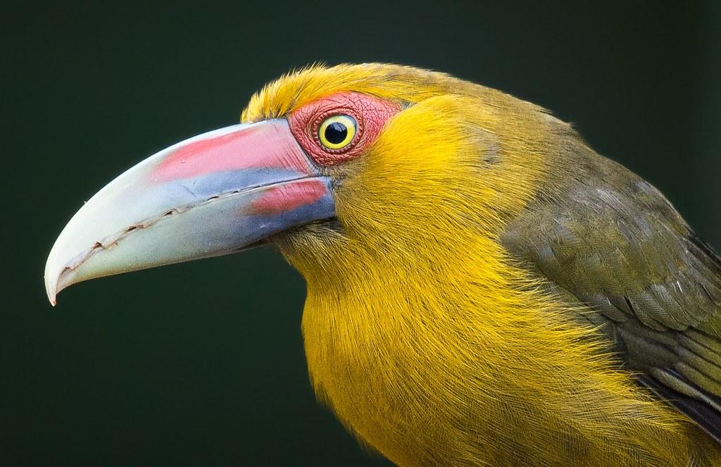 Araçari-banana, Saffron Toucanet ( Pteroglossus bailloni)