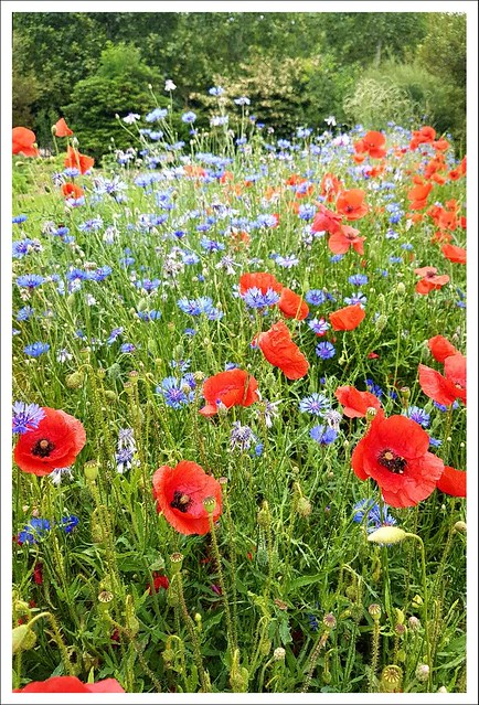 Cornflowers and Poppies Field in Paris