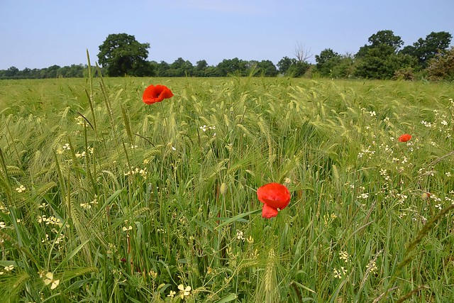 Poppies in the Barley Field. 29 05 2018