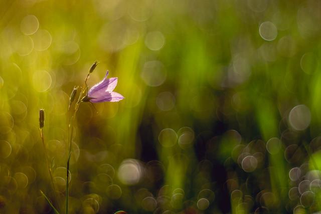 Glockenblume 1/3 | Bellflower (Campanula)