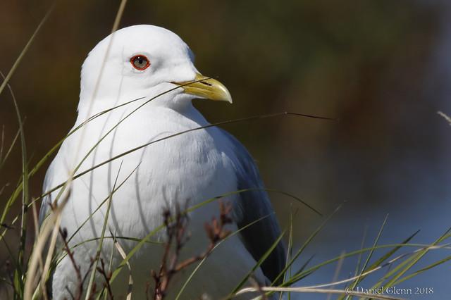 Mew Gull (Breeding adult) American