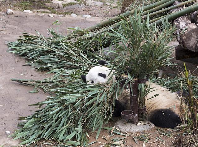 Yue Yue, Dujiangyan Panda Base, Shiqiao (Qingchengshan), Dujiangyan, Sichuan, China