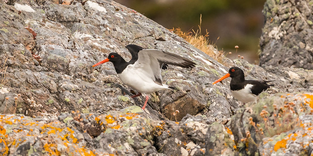 Mr and Mrs Oystercatcher