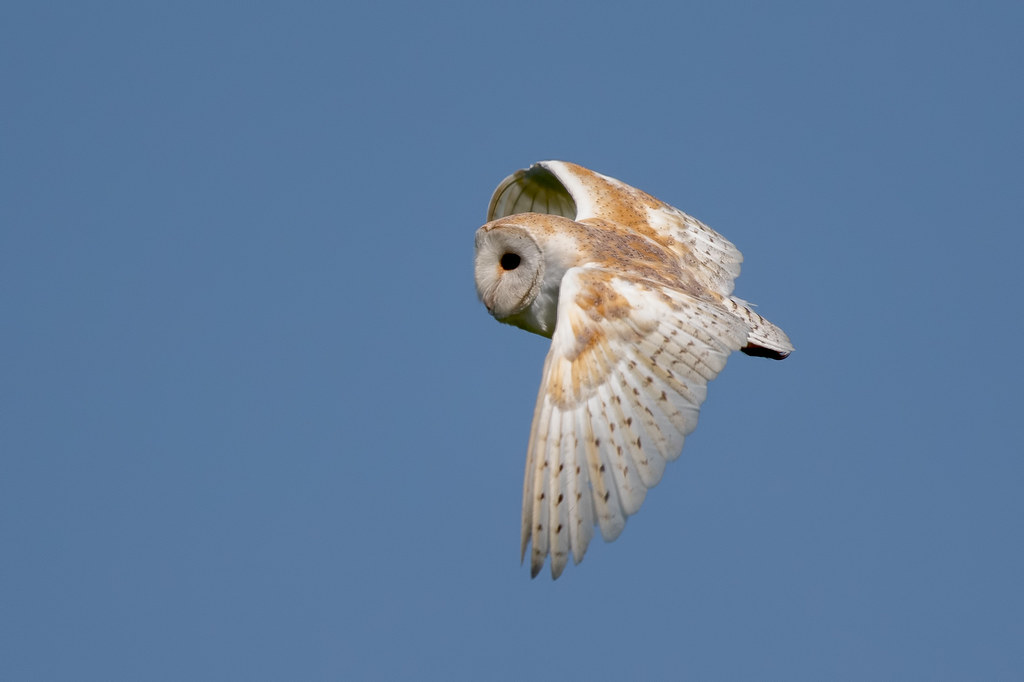 Barn Owl | Barn Owl - Tyto Alba I've been meaning to try ...