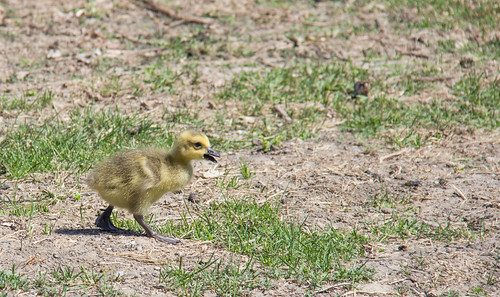 Canada 🇨🇦 Goose Chick | by Debby_ab