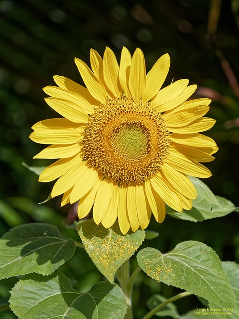 Selena's Sunflower