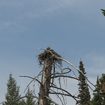 Osprey nest with young