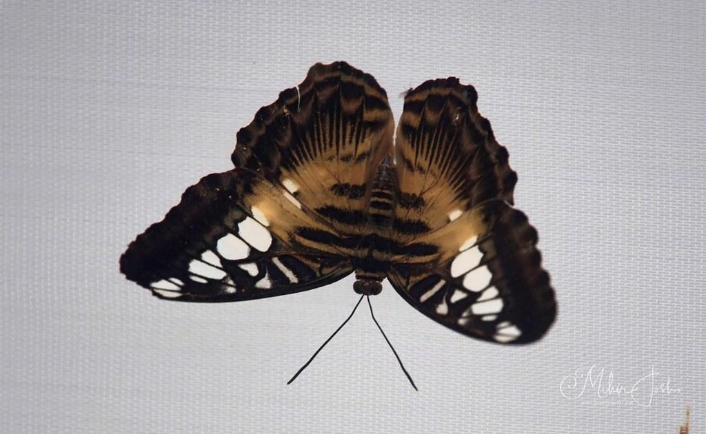 Brown clipper (Parthenos sylvia philippinensis)