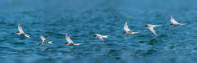 Tern Sequence
