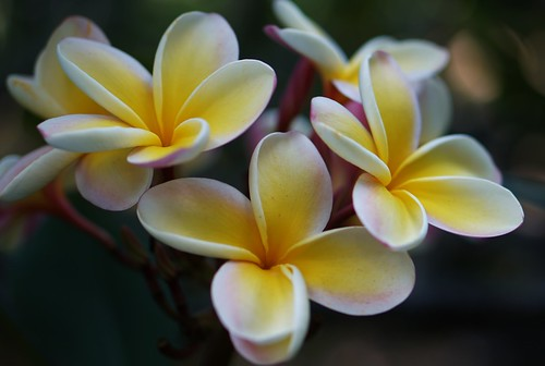 Koko Crater Plumeria | by Eric Tessmer, Honolulu Hawaii