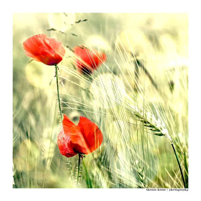 poppy in the wind...