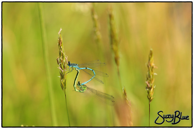 Mating Azure Damselflies
