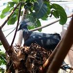Ornamental pigeon