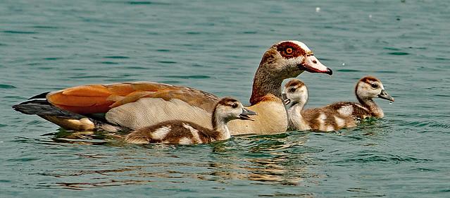 Nilgans Mama mit Nachwuchs