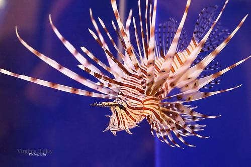 Medusa the Lion Fish | by Virginia Bailey Photography