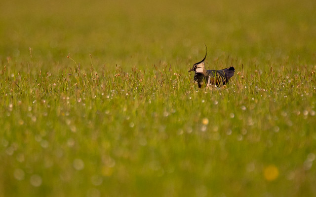 Lapwing in an Evening Meadow