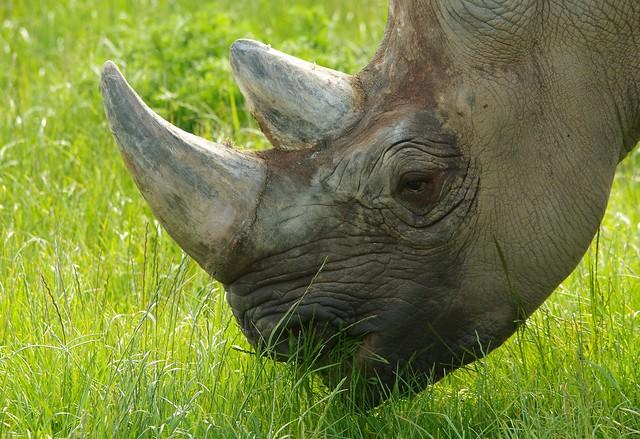 Black Rhino  (10)