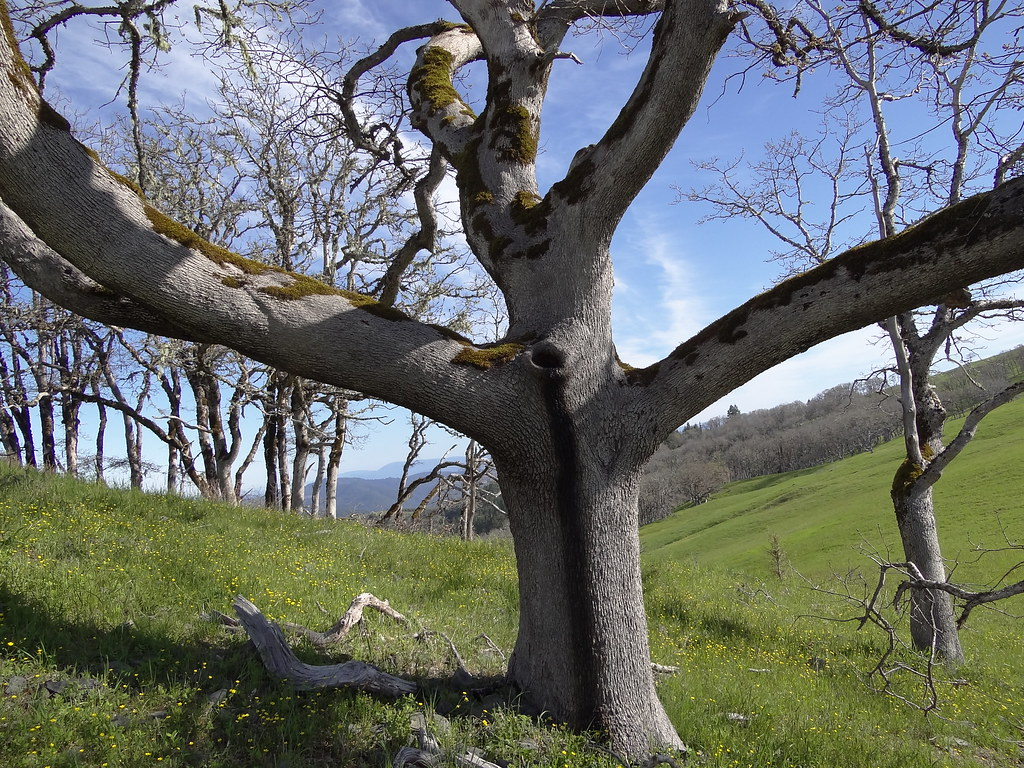 ... Oak trees - by Redwood National and State Parks